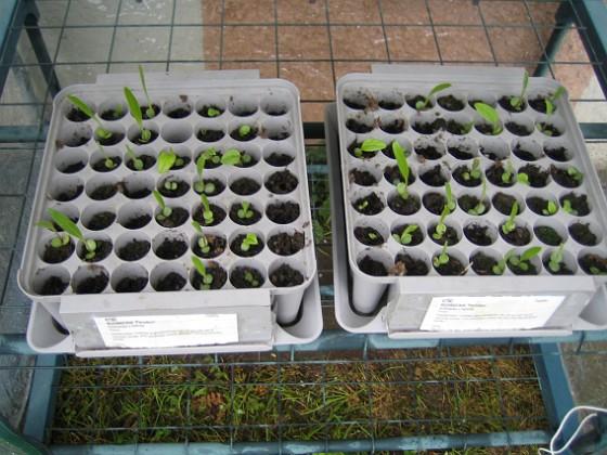 Solhattar Jag har ca 50 stycken Solhattar, som snart skall planteras om. 2010-05-08 003 Granudden Färjestaden Öland