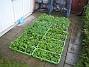 Nu återstår bara att se om de hinner växa till sig till nästa gång jag kommer - då vill jag plantera! (2010-05-08 002)
