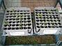 Jag har ca 50 stycken Solhattar, som snart skall planteras om. (2010-05-08 003)