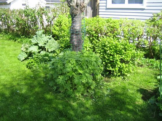 Körsbärsträdet &nbsp 2010-05-23 022 Granudden Färjestaden Öland