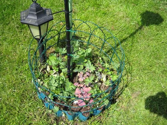 Riddarsporrar { Här är några av mina nysatta plantor. }