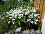 Allium  2010-06-06 IMG_0020