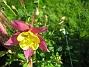 Akleja  2010-06-12 IMG_0085