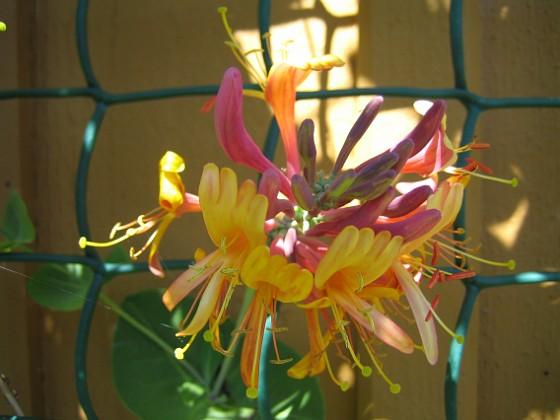Blomsterkaprifol &nbsp 2010-06-24 IMG_0010 Granudden Färjestaden Öland