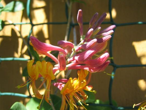 Blomsterkaprifol  2010-06-24 IMG_0011 Granudden Färjestaden Öland