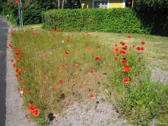 Vallmo Dessa växer vilt vid vägkanen. Fast det är nog kommunen som har sått fröblandningen...&nbsp 2010-06-24 IMG_0035 Granudden Färjestaden Öland