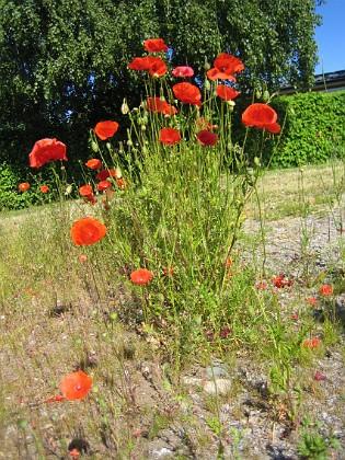 Vallmo  2010-06-24 IMG_0036 Granudden Färjestaden Öland