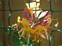Blomsterkaprifol  2010-06-24 IMG_0010