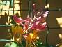 Blomsterkaprifol  2010-06-24 IMG_0011