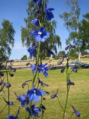 Riddarsporre  2010-07-03 IMG_0026 Granudden Färjestaden Öland