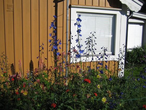 Riddarsporre  2010-07-04 IMG_0014 Granudden Färjestaden Öland