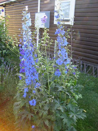 Trädgårdsriddarsporre &nbsp 2010-07-07 IMG_0010 Granudden Färjestaden Öland