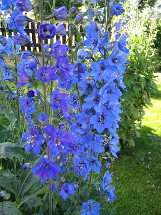 Trädgårdsriddarsporre  2010-07-07 IMG_0012 Granudden Färjestaden Öland