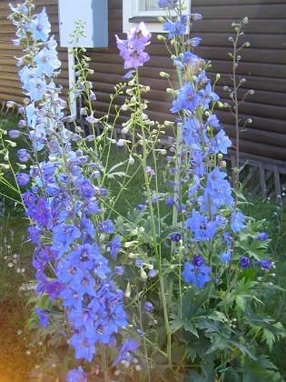 Trädgårdsriddarsporre  2010-07-07 IMG_0014 Granudden Färjestaden Öland