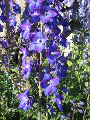 Trädgårdsriddarsporre &nbsp 2010-07-07 IMG_0018 Granudden Färjestaden Öland