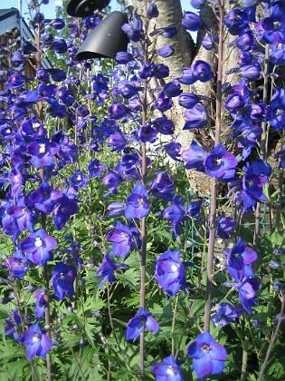 Trädgårdsriddarsporre &nbsp 2010-07-07 IMG_0019 Granudden Färjestaden Öland