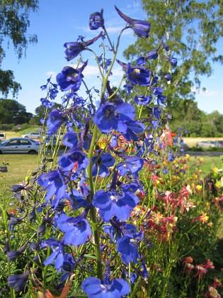 Trädgårdsriddarsporre &nbsp 2010-07-07 IMG_0033 Granudden Färjestaden Öland
