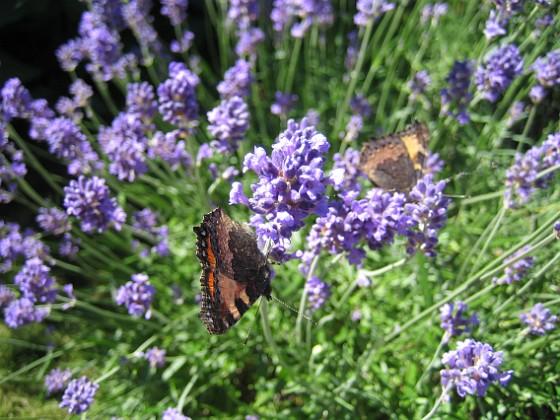 Lavendel, Fjäril {  }