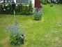 Riddarsporre  2010-08-01 IMG_0012