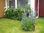 Riddarsporre  2010-08-01 IMG_0015