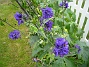 Riddarsporre  2010-08-01 IMG_0055