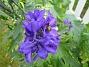 Riddarsporre  2010-08-01 IMG_0056
