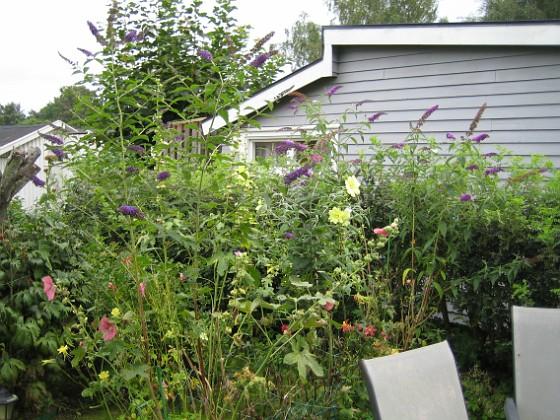 Fjärilsbuskar &nbsp 2010-08-22 IMG_0031 Granudden Färjestaden Öland