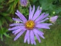 Aster  2010-08-22 IMG_0006