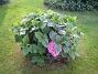 Hortensia  2010-09-05 IMG_0052
