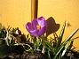 Krokus  2011-03-26 IMG_0051