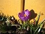 Krokus  2011-03-26 IMG_0052