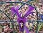 Iris  2011-04-02 024