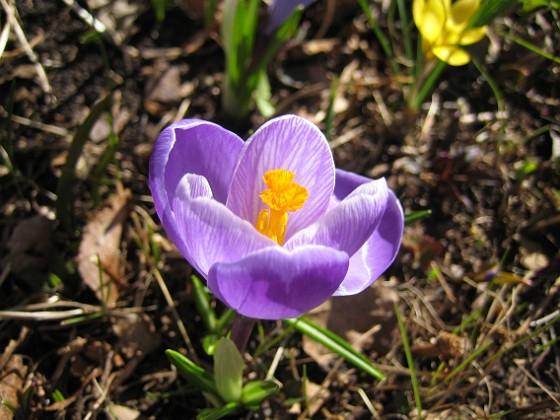 Krokus  2011-04-09 052 Granudden Färjestaden Öland