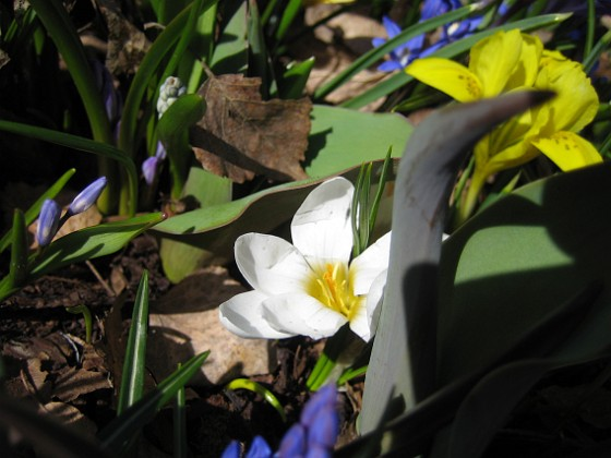 Krokus och Iris {  }