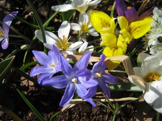 Vårstjärna, Iris och Krokus {  }