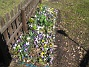 Krokus  2011-04-09 005
