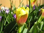 Tulpan  2011-04-09 025