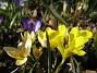 Iris och Krokus  2011-04-09 070