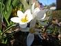 Krokus  2011-04-09 071