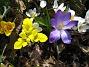 Krokus och Iris  2011-04-09 087