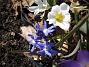 Vårstjärna och Krokus  2011-04-09 095