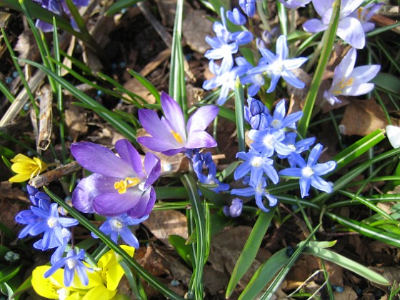 Krokus och Vårstjärna &nbsp 2011-04-10 023 Granudden Färjestaden Öland