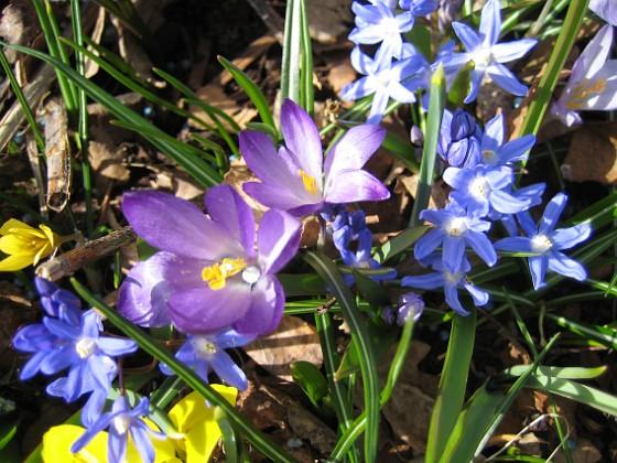 Krokus, Vårstjärna och Iris {  }