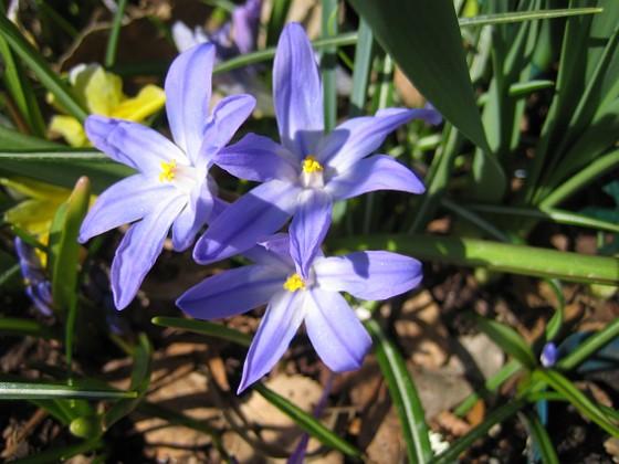 Vårstjärna  2011-04-15 015 Granudden Färjestaden Öland