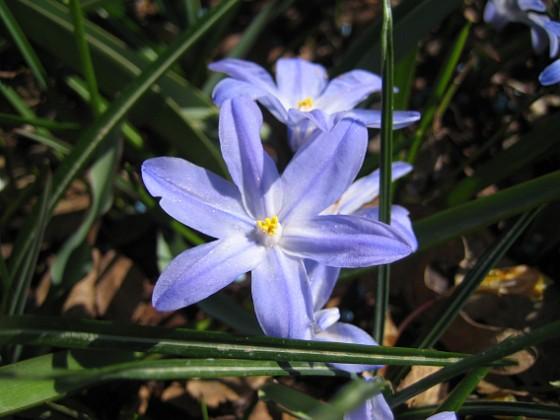 Vårstjärna  2011-04-15 018 Granudden Färjestaden Öland