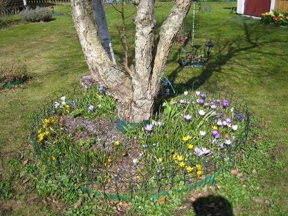 Krokus &nbsp 2011-04-15 039 Granudden Färjestaden Öland