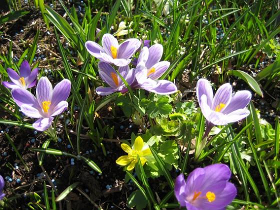Krokus &nbsp 2011-04-15 103 Granudden Färjestaden Öland