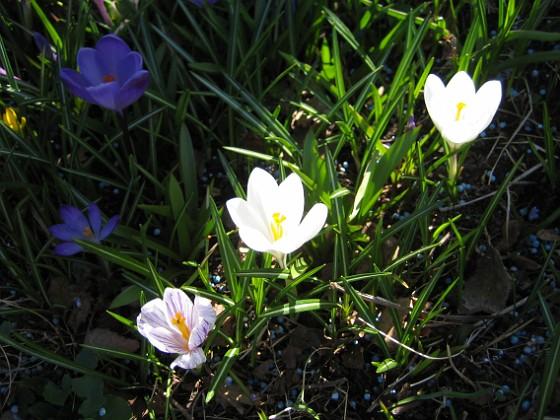 Krokus  2011-04-15 104 Granudden Färjestaden Öland