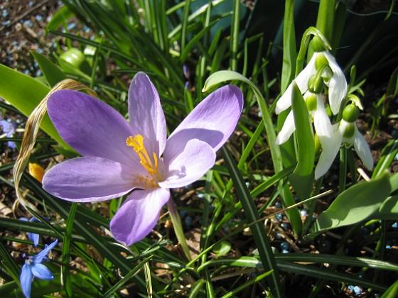 Krokus  2011-04-15 111 Granudden Färjestaden Öland