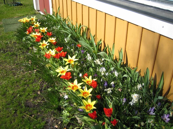 Tulpaner  2011-04-15 114 Granudden Färjestaden Öland
